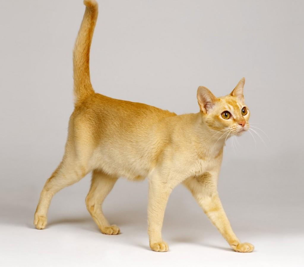 Сингапурская кошка или просто сингапура