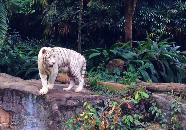 Тигр в Сингапурском зоопарке